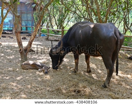 the symbols of the white buffalo and the red heifer essay Choice specimens of american literature, & literary reader, being selections from the  nest of the red-headed i  a  give him only a steer and a heifer,.
