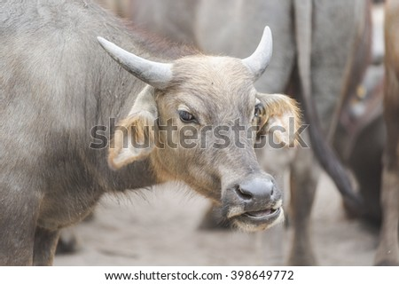 Buffalo animals, mammals. The workers do not help farmers .In Thailand.