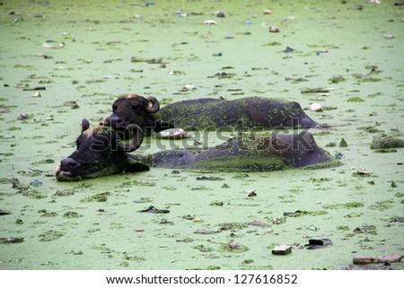 Buffalo Bath in Pond - stock photo