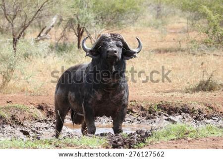 Buffalo Bull enjoying a mud bath - stock photo