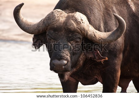 Buffalo bull standing in shallow water in order to cool down