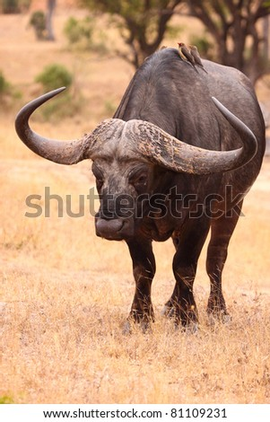Buffalo bull with huge horns - stock photo