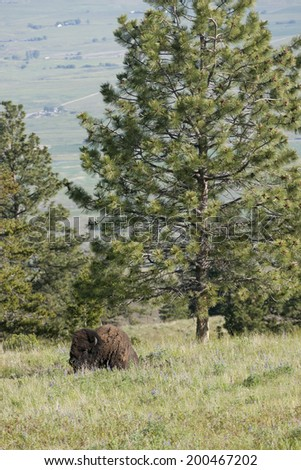 Buffalo by the tree at the National Elk and Bison Range in Montana - stock photo