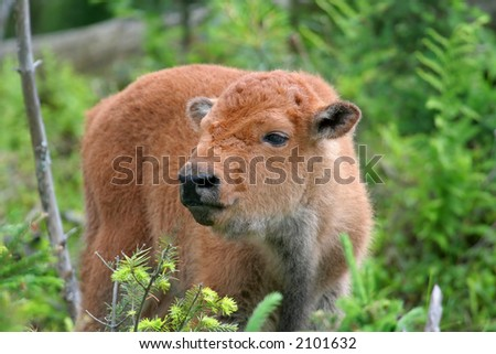 Buffalo calf - stock photo
