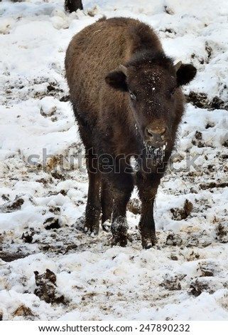 Buffalo calf in winter (Bison Bison) - stock photo