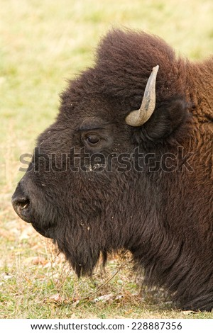 Buffalo close-up head shot profile view.  They weigh close to 2,000 pounds  and some males may top that weight.   - stock photo