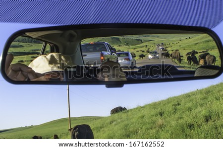 Buffalo crossing road ahead and in rear-view mirror bring tourist traffic to a standstill along road in Custer State Park, South Dakota, USA,  on a summer evening - stock photo