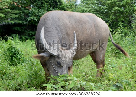 Buffalo graze - stock photo