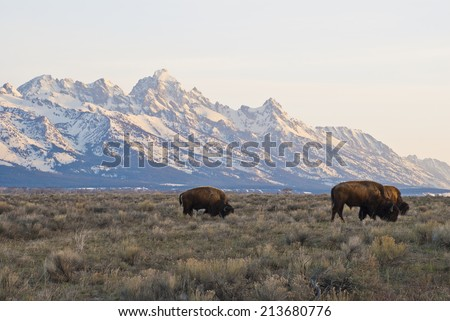 Buffalo graze in the early morning light under the towering Grand Teton Peaks near Jackson Hole, Wyoming. - stock photo