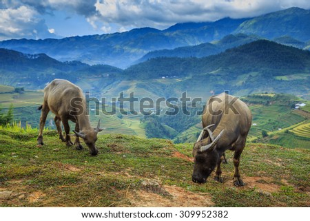 Buffalo grazing on mountain in Vietnam. - stock photo