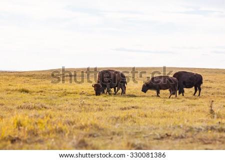 Buffalo Grazing on the Prairie - stock photo