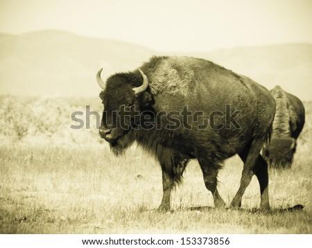 Buffalo herd on Zapata Ranch, Colorado. - stock photo