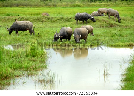 Buffalo herds grazing in marshy area in Thailand - stock photo
