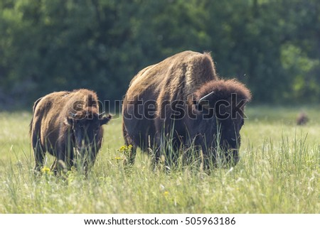 Buffalo In Black Hills of South Dakota