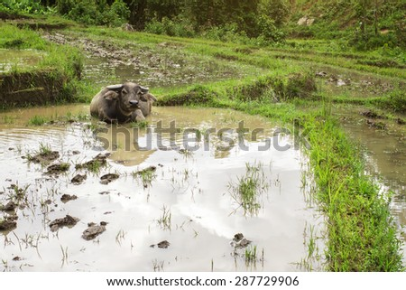 Buffalo in mud, The field ready to grow up rice.