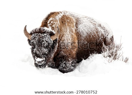Buffalo in snow in Yellowstone National Park, - stock photo
