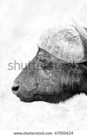 BUFFALO IN THE MASAI MARA - stock photo