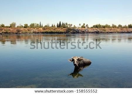 Buffalo in the Nile River, Aswan, Egypt - stock photo