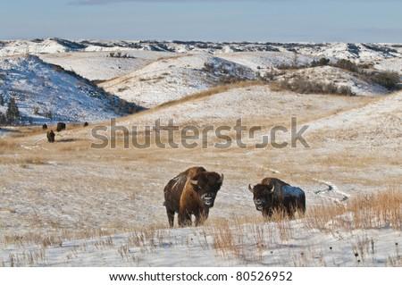 Buffalo in Theodore Roosevelt National Park - stock photo