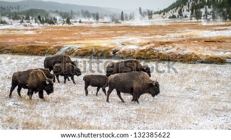 Buffalo in Yellowstone National Park - stock photo