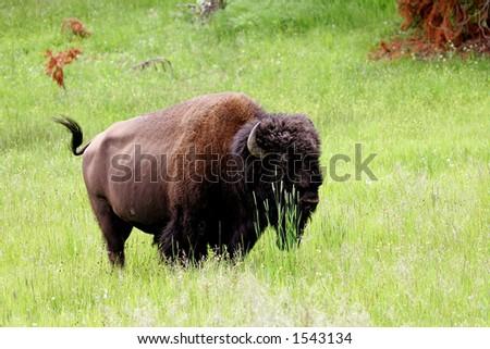 Buffalo in Yellowstone National Park, Wyoming - stock photo