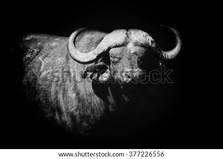 Buffalo on dark background. Black and white image - stock photo