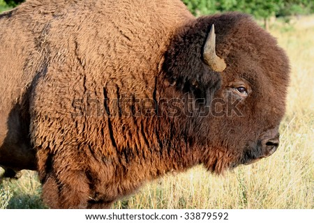 Buffalo Patriarch - Bull Buffalo, leader of the herd! - stock photo