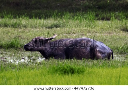 buffalo relaxes in rice field.