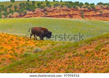 Buffalo roaming on the red dirt prairie in Thermopolis Wyoming - stock photo