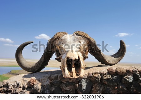 Buffalo skull - stock photo