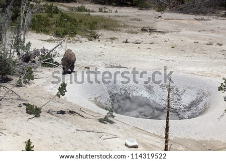 Buffalo standing close to sulfur hot spring in Yellowstone National Park, Montana, Wyoming, USA - stock photo