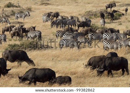 Buffalo, Syncerus caffer in Masai Mara Kenya - stock photo
