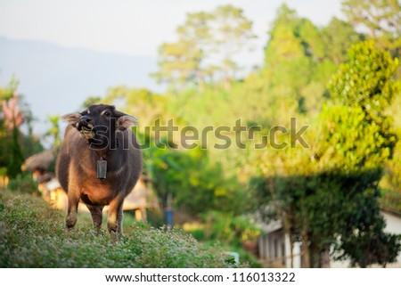Buffalo, Thailand - stock photo