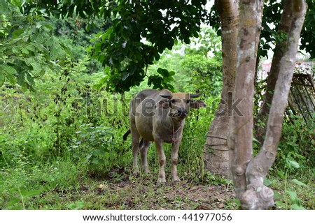 Buffalo under the tree.