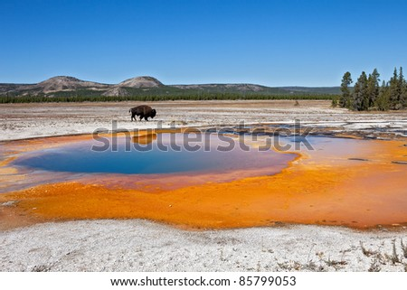 Buffalo wandering by Emerald Pool in Yellowstone National Park. - stock photo
