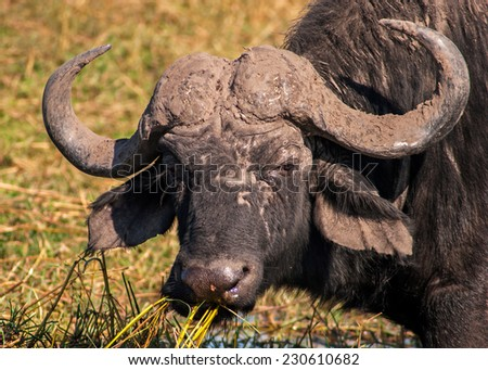 buffalo with mud caked horns grazing - stock photo