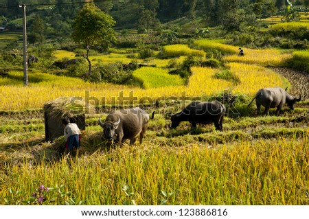 buffaloes are in terraced rice field in Vietnam - stock photo
