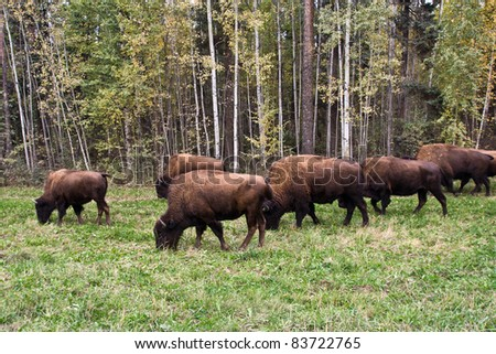 Buffaloes in Northwest Canada - stock photo