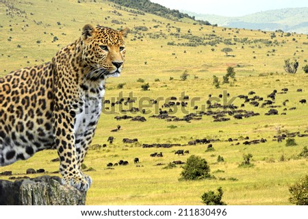 Buffaloes in the Masai Mara National Park. Kenya - stock photo