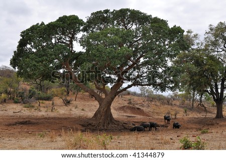 buffaloes resting under big tree,Kruger NP,South Africa - stock photo