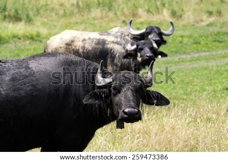 Buffaloes standing in the grass