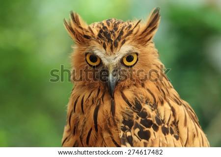 Buffy Fish Owl on green background - stock photo