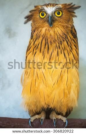 Buffy Fish Owl portrait, close up of yellow eyes  - stock photo