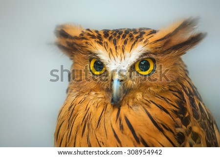 Buffy Fish Owl portrait, close up serious look of yellow eyes  - stock photo