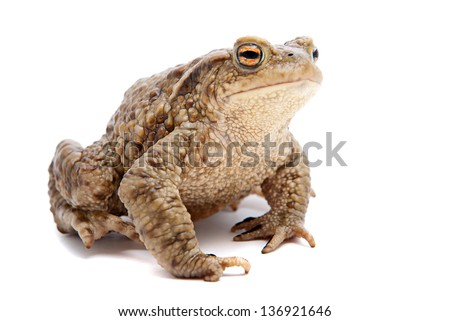 Bufo bufo. Common (European) toad on white background. - stock photo