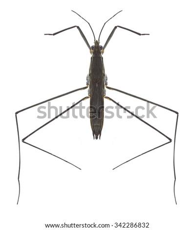 Bug Aquarius paludum on a white background - stock photo