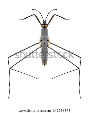 Bug Aquarius paludum (underside) on a white background - stock photo