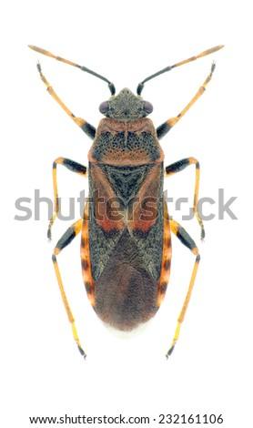 Bug Arocatus melanocephalus on a white background - stock photo