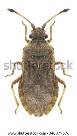 Bug Bathysolen nubilus on a white background - stock photo
