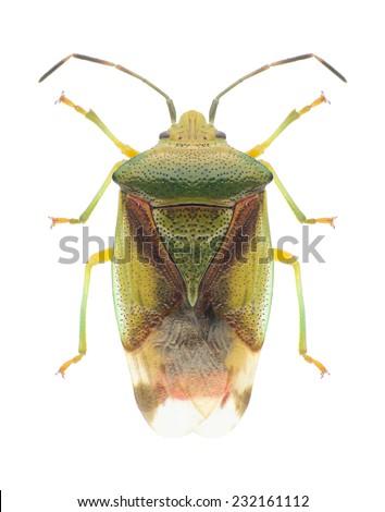 Bug Elasmostethus interstinctus on a white background - stock photo